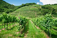 Vinery in Austria. Vineyard and Hills in Wachau, Lower Austria Royalty Free Stock Photo