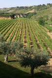 Vinery and bridge. Vineyard on sicily - with ancient bridge in the background -vertical photo Royalty Free Stock Photography