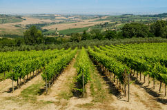 The vinery of Tuscany with hills as a background, Italy Stock Images
