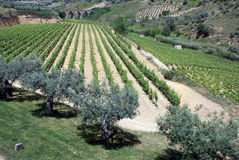 Vinery view. Vineyard and Olive tree, on sicily - with ancient bridge in the background Stock Photos
