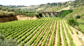 Vinery view. Vineyard, on sicily - with ancient bridge in the background Royalty Free Stock Image