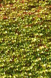 Vines 1 Stock Photos