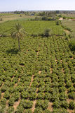 Vines. Agriculture on harvest time in El-Minya, Egypt Royalty Free Stock Image