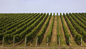 Vines. Rows of grape vines on a hillside Royalty Free Stock Photography