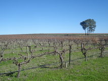 Vines. A vineyard in winter time, South Australia Stock Images