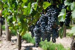 Vines Stock Image
