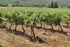 Vines Royaltyfria Bilder