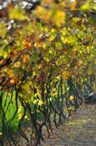 Vines. In autumn season with wonderful colors Stock Photo