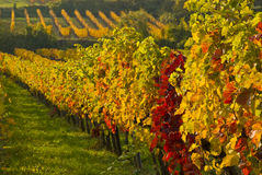 Vines Stock Images