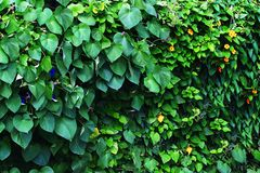 Vines. Morning glorys and Blackeyed Susans growing together in landscape Stock Photography