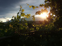 Vines. In sunshine against a stormy mountainous background Royalty Free Stock Images