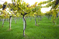 Vines. View from below of a suspended vines of motepulciano Abruzzo Royalty Free Stock Photos