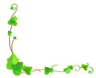 Vines. A border background featuring green flowing garden vines on the white background Royalty Free Stock Image