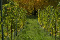Vines in autumn Stock Image