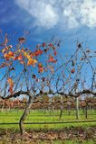 Vines in autumn #1 Royalty Free Stock Photos