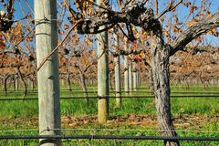 Vines in autumn #3 Royalty Free Stock Photos