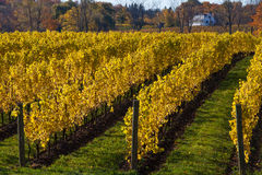 Vines in the Autumn Stock Photos