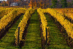 Vines in the Autumn Royalty Free Stock Photos