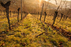 Vines in the backlight of the morning Stock Image