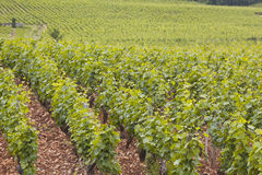 Vines of Beaune Stock Image