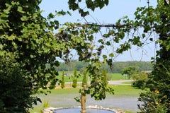 Vines. Beautiful scene of vines in this vineyard Royalty Free Stock Image