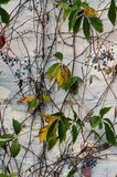 Vines and berries against pastel white brick royalty free stock photo