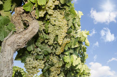 Vines with blue sky Stock Photography