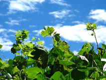 Vines on Blue Summer Sky Stock Photography