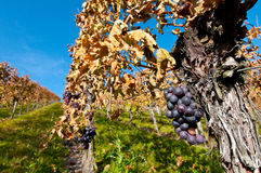 Vines and bunches of grapes Royalty Free Stock Image