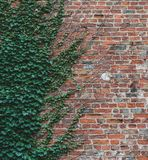 Vines climb up a brick wall and offer an interesting half way pattern stock images