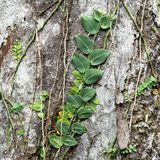 Vines climbing tree. Royalty Free Stock Photography