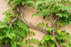 Vines climbing a wall Stock Image