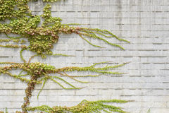 Vines climbing on white wall Royalty Free Stock Photography