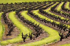 Vines in contrast Royalty Free Stock Photography