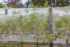 Vines covered with bird netting Royalty Free Stock Photos