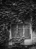 A vines covered window. A deserted house who's window had been blocked by the spreading vines Stock Image