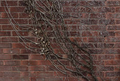 Vines. Dying vines cling to a brick wall Royalty Free Stock Photos