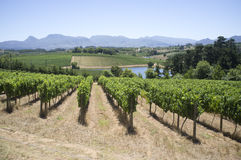 Vines in Elgin Valley Western cape S Africa Royalty Free Stock Image