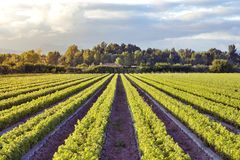 Vines. Field cultivation of vines for winemaking Royalty Free Stock Images
