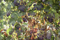 Vines in the field Royalty Free Stock Photography