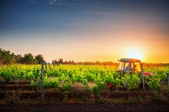 Vines on the field and a red tractor at sunset royalty free stock photo