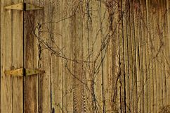 Vines Form a Heart. Vines growing wild on a wood weathered shed wall form a shape of a heart Royalty Free Stock Photos
