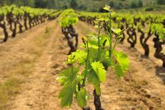 Vines in France during spring. Vines in the Languedoc region during spring, France Royalty Free Stock Images