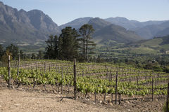 Vines at Franschhoek in the Western Cape South Africa Royalty Free Stock Photography