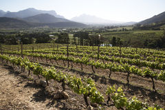 Vines at Franschhoek in the Western Cape South Africa Stock Images