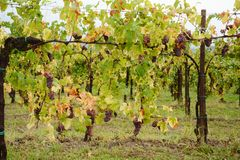 Vines in Friuli-Venezia Giulia, Italy, Europe Royalty Free Stock Images