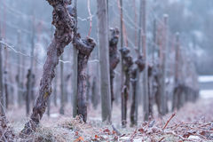 Vines with gnarled bark in a vineyard. And cold winter royalty free stock images
