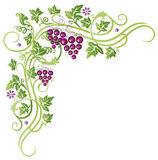 Vines, grapes Stock Image