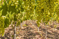 Vines and grapes Royalty Free Stock Photography
