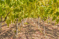 Vines and grapes Stock Photography